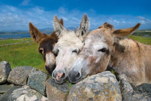 Connemara_donkey